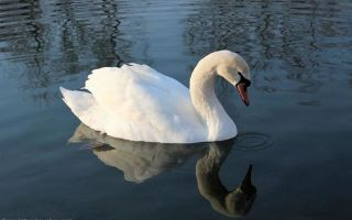 Колония Белый лебедь – где находится и исторические факты