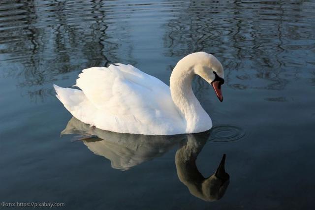 Колония Белый лебедь – где находится, исторические факты
